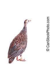 Guinea Fowl isolated on white - Guinea Fowl, Numida...