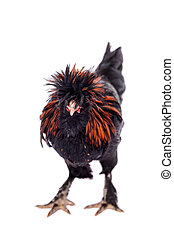Pavlovian breed Rooster on white - Beauty black Pavlovian...