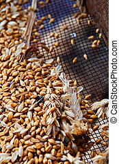Wheat Berries over a sieve
