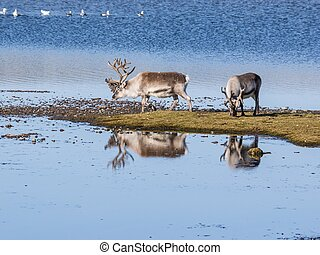 Wild reindeers by the lake - Spitsbergen, Arctic