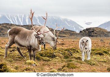Wild reindeer family - Arctic, Spitsbergen