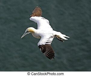 Gannet bird - Close up of Gannet sea bird in flight over...