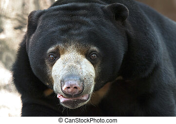 Sun bear - The Malayan sun bear is also known as the honey...