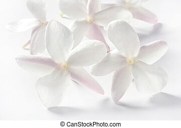 jasmine flowers over white background - jasmine flowers over...