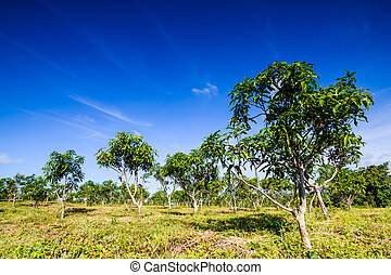 Mango orchards
