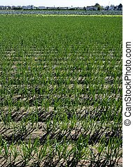 Agriculture in Spain, onion fields