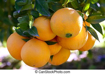 Orange trees with oranges - Orange trees in Spain with...