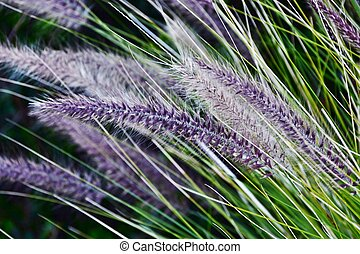 Blue Buffalo grass - Close up of Blue Buffalo grass in...