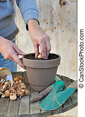 planting bulbs - plantation by a woman narcissus bulbs in a...