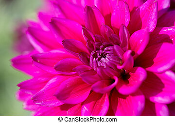 pink gorgeous flower bloom of dahli - macro picture of the...