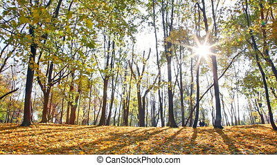 Sun beams through branches of trees in autumn park during a leaf fall