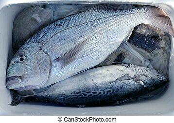 pez,  denton, Mediterráneo,  snapper,  gilthead,  sparus