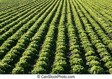 Lettuce field in Spain. Green plants perspective