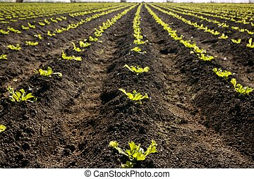 Lettuce sprouts field, green vegetable outbreaks - Little...
