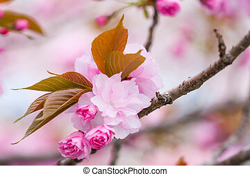 japanese cherry blossom - pink colored blossom of a cherry...