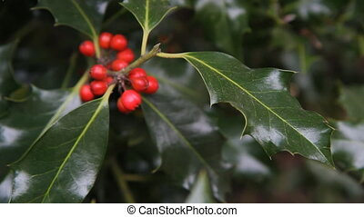 Holly. - Holly leaves and berries. Leaf in focus.