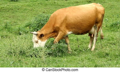 Cows grazing on pasture and eating