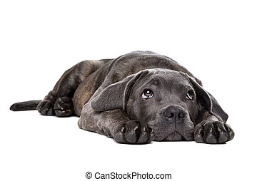 grey cane corso puppy dog laying down and looking up in...