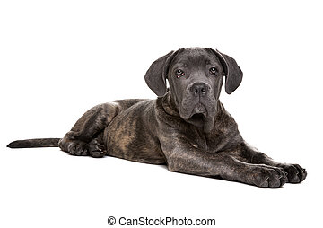grey cane corso puppy dog in front of a white background