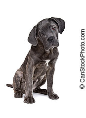 grey cane corso puppy dog sitting in front of a white...