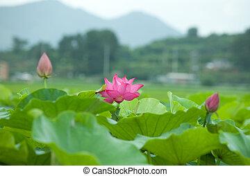 Lotus - korea