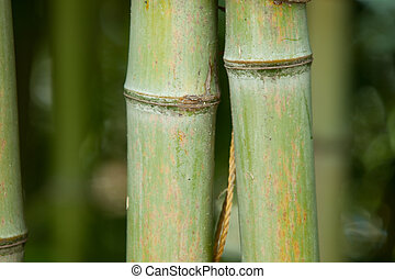 Bambus - natur