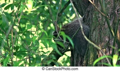 young Raccoon in a tree