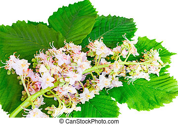 Chestnut: flowers and leaves on a white background.