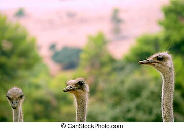 african three ostrich portrait, funny family, green outdoors