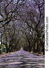 Suburban road with line of jacaranda trees and small flowers...