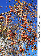Wild Persimmon Fruit - Wild persimmon fruit on the tree in...