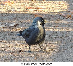 Jackdaw - Western jackdaw (Corvus monedula), or Eurasian...
