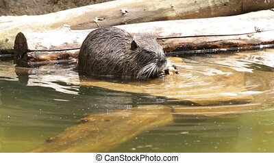 Myocastor coypus.Nutria on the water