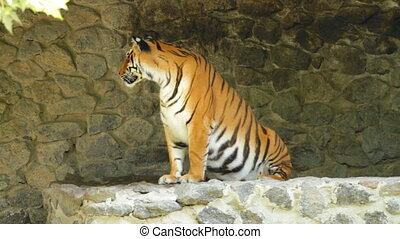 Siberian Tiger on the stones