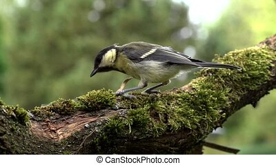 great tit - slow motion