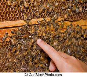 Finger Pointing to Queen Bee - Photo shows an active honey...