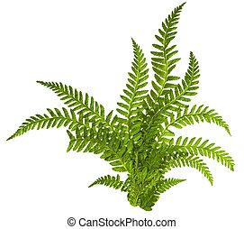 Green leaves of fern on white - Green leaves of fern...