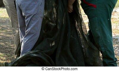 olive harvesting in baskets