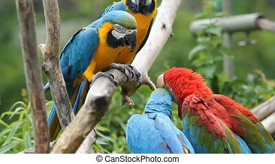 Scrappy Parrots. - Four macaws having a dispute. Toronto...