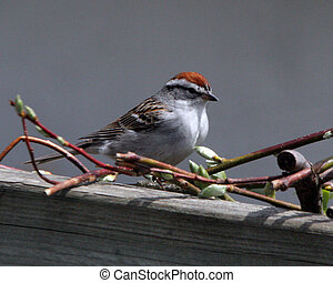 Chipping Sparrow - A Chipping Sparrow posing for the camera