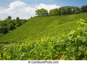 Vineyard on hill in Nordrhein-Westfalen, Germany - nice...