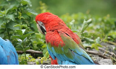 Macaw - Scarlet Macaw at the zoo Toronto Zoo, Ontario,...