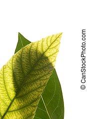Green leaves in vibrant green, medlar, white studio...