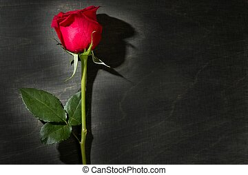 Red rose macro over dark black wood - Red rose macro close...