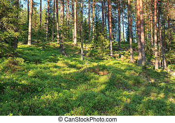 Finnish forest at summer - Finnish forest at sunny summer...