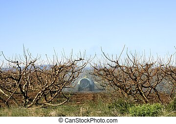 Peach fields with pesticide tractor vehicle - Peach fields...