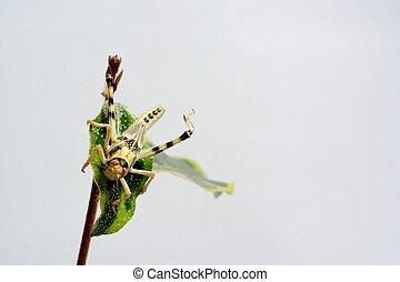 locus - close-up of locus on leaf, neutral background
