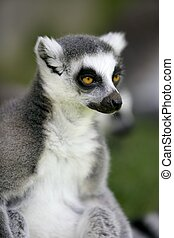 Madagascar Ring Tailed Lemur portrait of this peculiar ape...