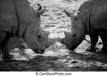 Two african rhino, duel for power - Two african dangerous...