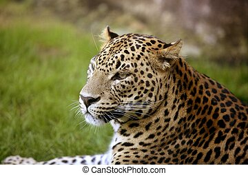 African leopard on green grass - African leopard on resting...